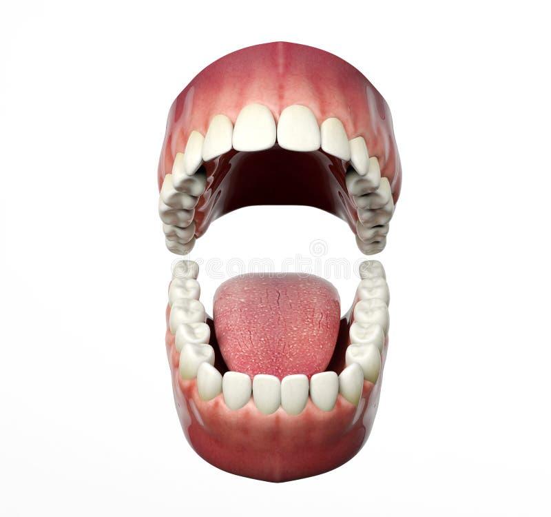 在白色背景隔绝的人牙打开 皇族释放例证