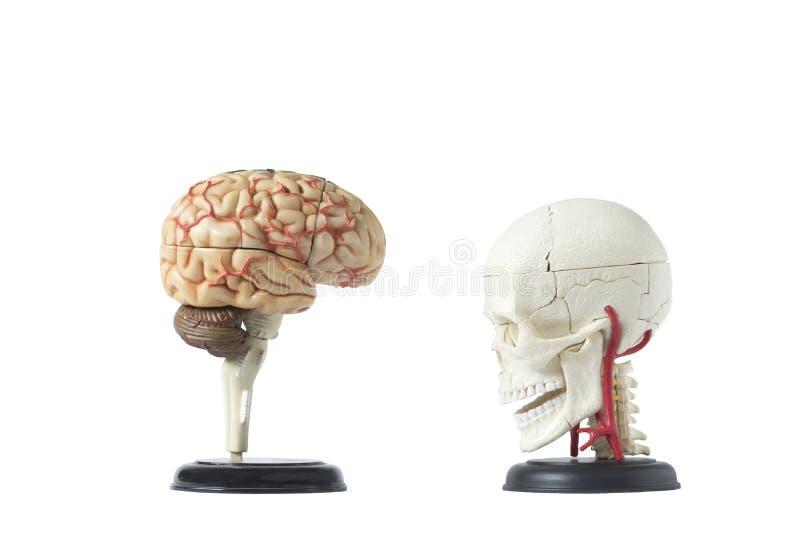 在白色背景隔绝的人的头骨和脑子模型 库存图片