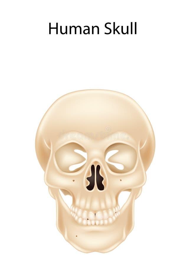 在白色背景隔绝的人的头骨 库存例证