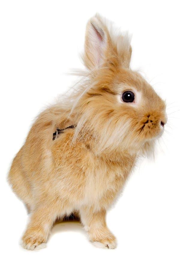在白色背景隔绝的兔子 免版税库存照片