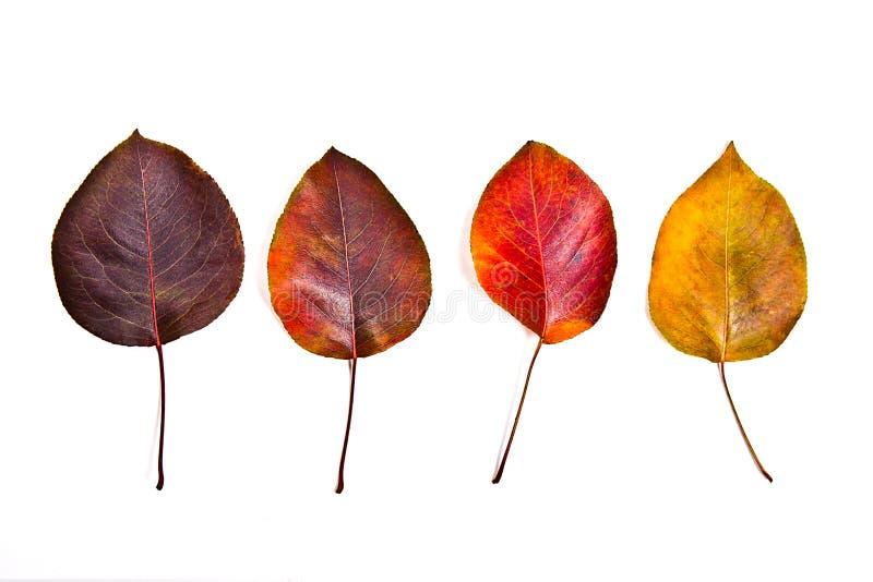 在白色背景隔绝的分类不同的秋叶 库存图片