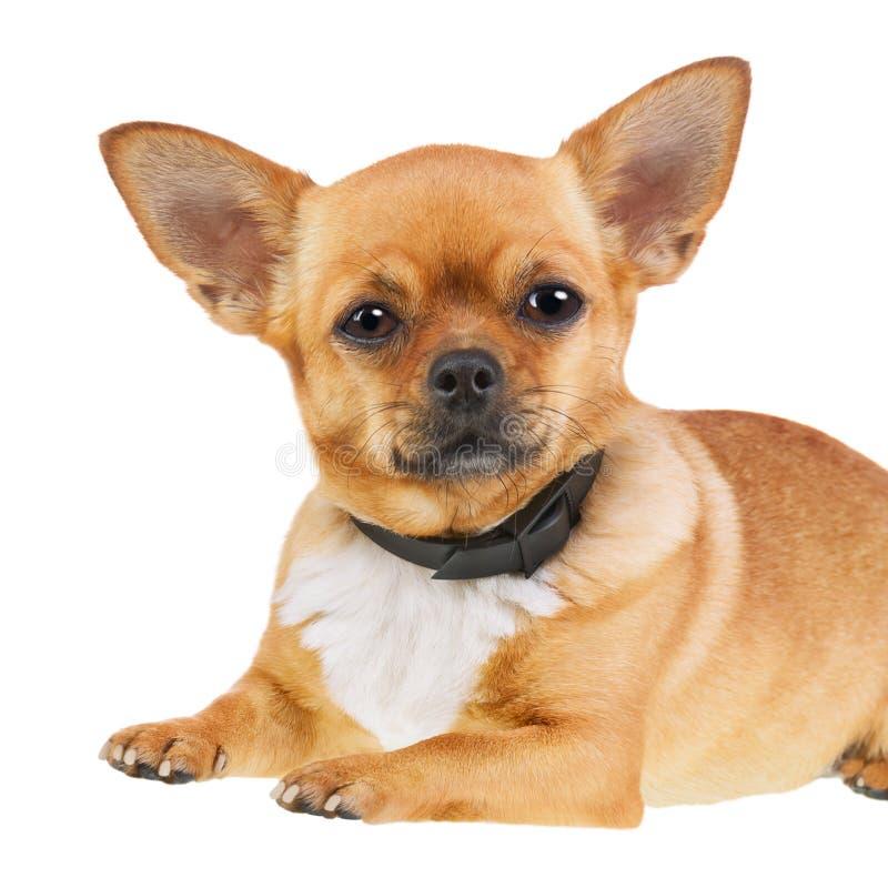 在白色背景隔绝的反蚤衣领的奇瓦瓦狗狗 库存照片