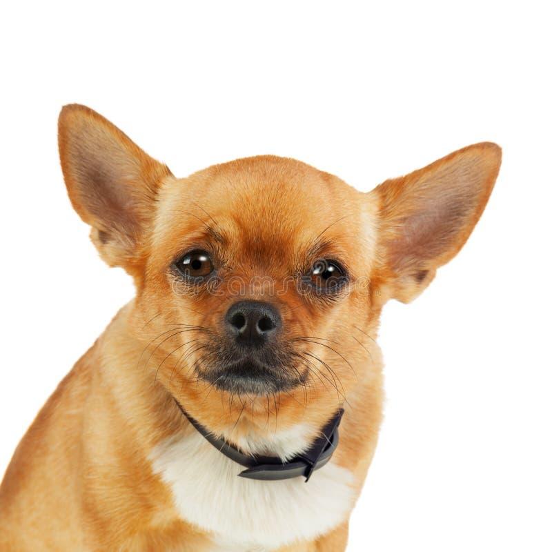 在白色背景隔绝的反蚤衣领的奇瓦瓦狗狗 免版税库存图片