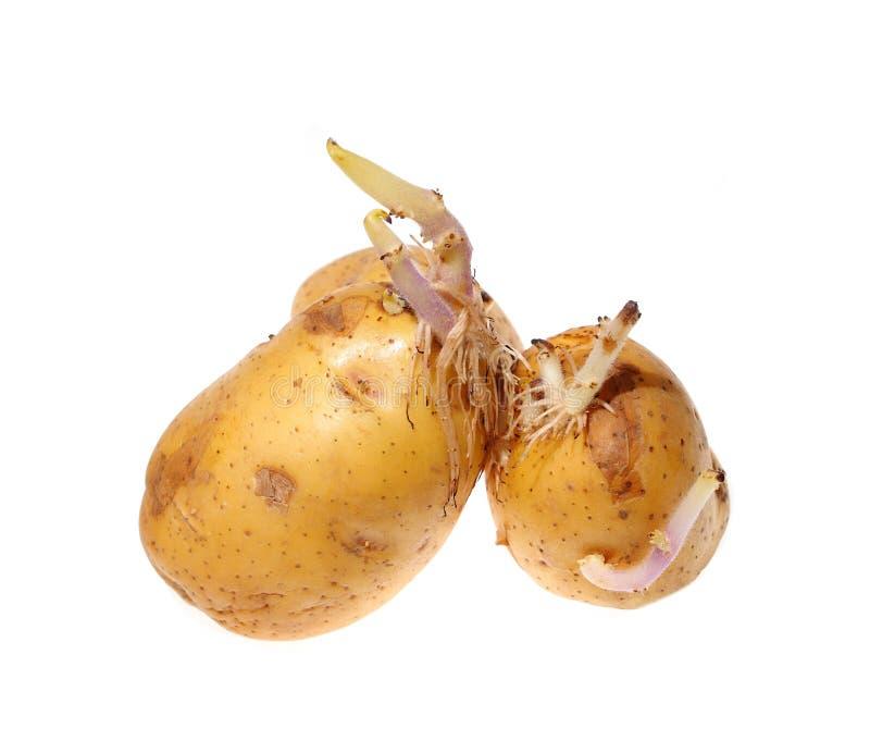 在白色背景隔绝的发芽的土豆 库存图片