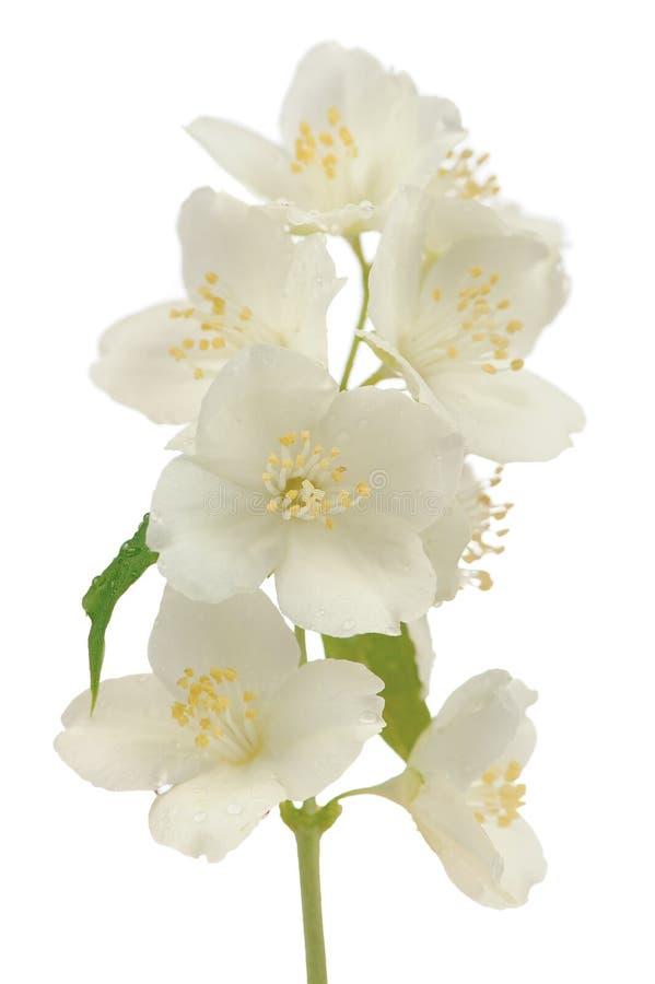 在白色背景隔绝的古老的山梅花(Philadelphus Pubescens)花 库存照片