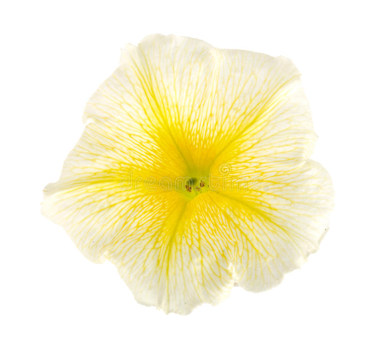 在白色背景隔绝的喇叭花黄色花 免版税库存照片