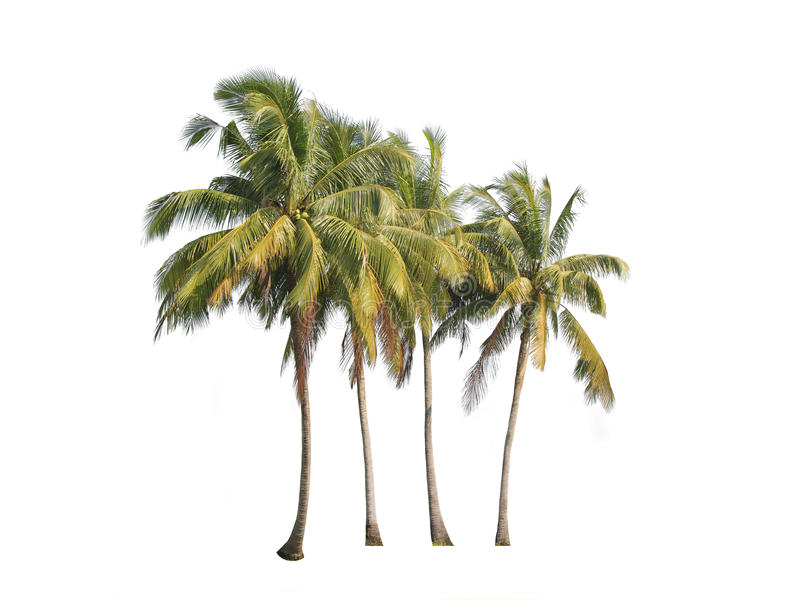 在白色背景隔绝的四棵可可椰子树 库存照片