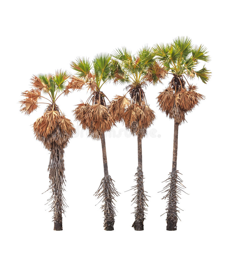 在白色背景隔绝的四棵树头梭flabellifer树 免版税库存照片