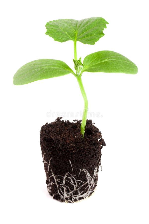 在白色背景隔绝的土壤的黄瓜幼木 库存照片