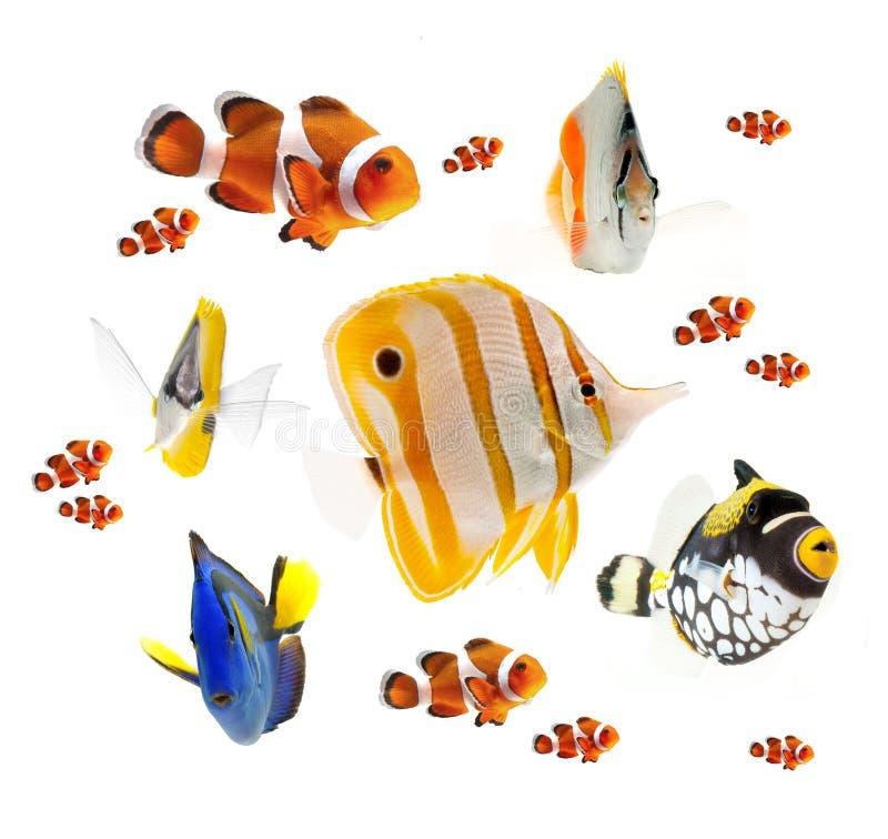 在白色背景隔绝的夏天热带礁石鱼收藏 免版税图库摄影