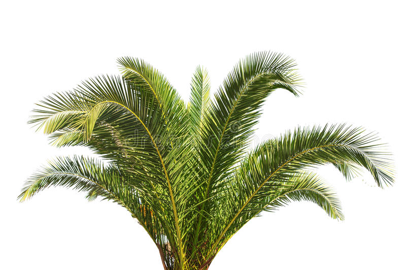 在白色背景隔绝的大绿色棕榈树 免版税图库摄影