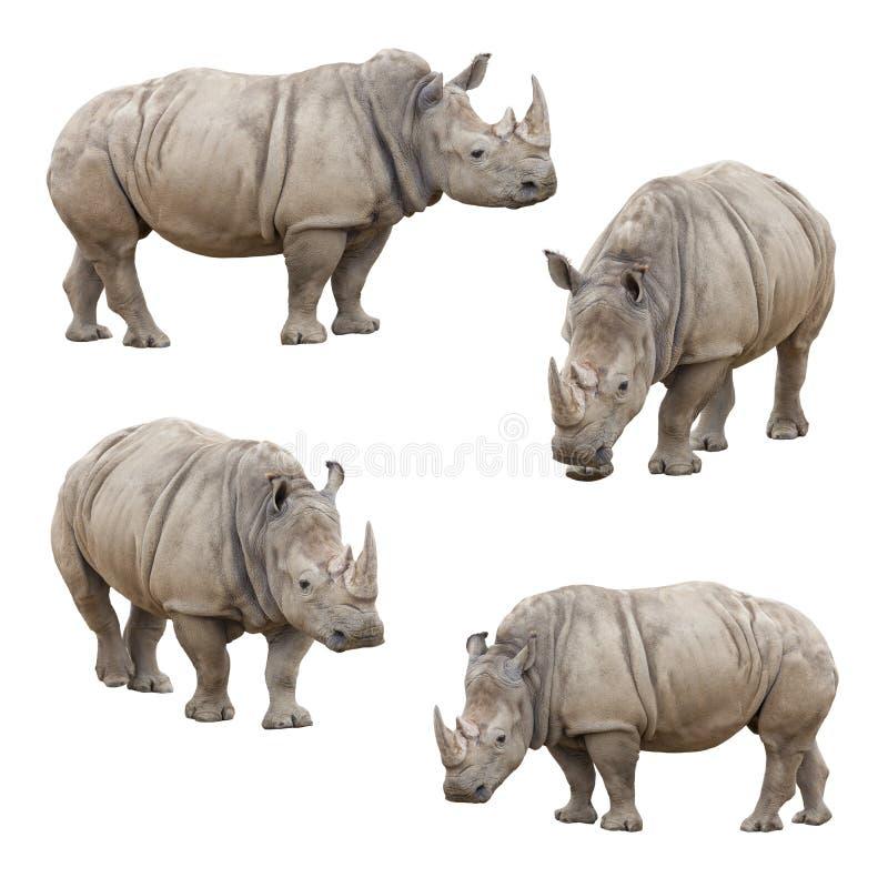 在白色背景犀牛隔绝的套 库存照片
