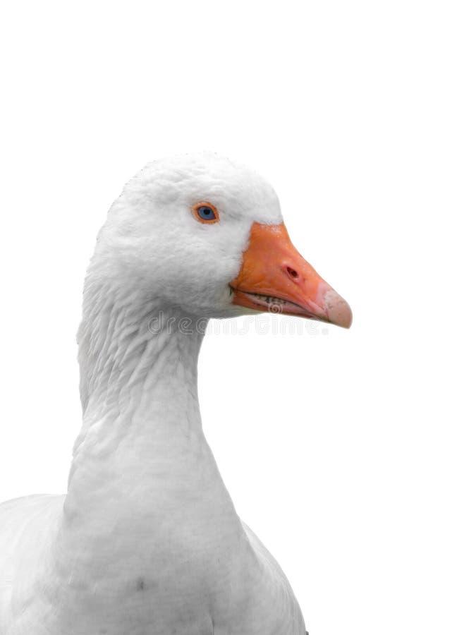 在白色背景隔绝的家养的鹅特写镜头头 库存图片