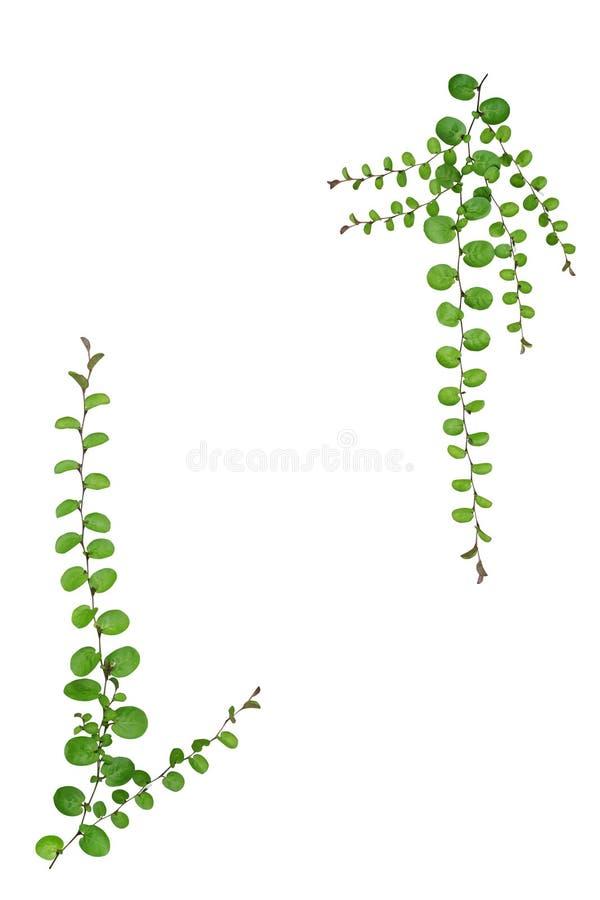 在白色背景隔绝的小爬行物植物自然框架  库存图片