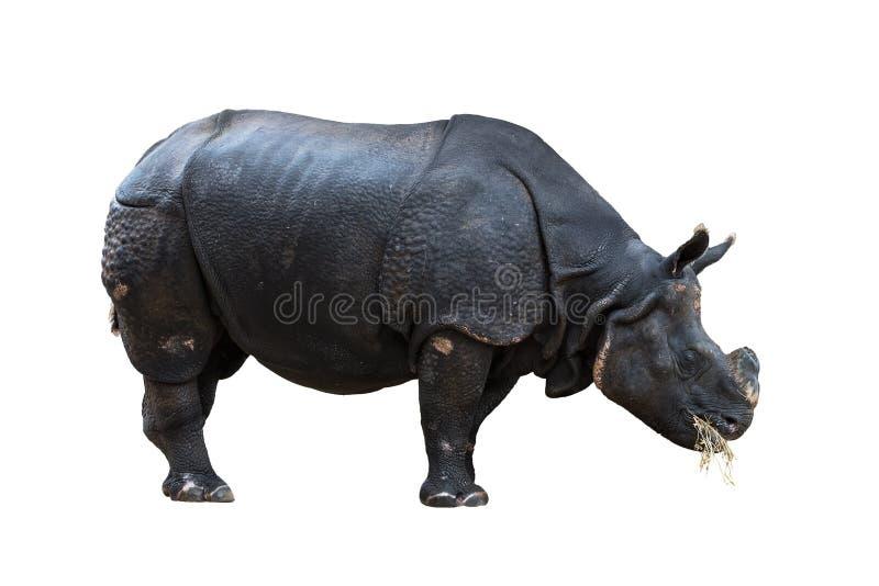 在白色背景隔绝的巨大的犀牛 免版税库存图片