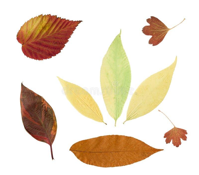 在白色背景隔绝的干燥秋叶 库存照片