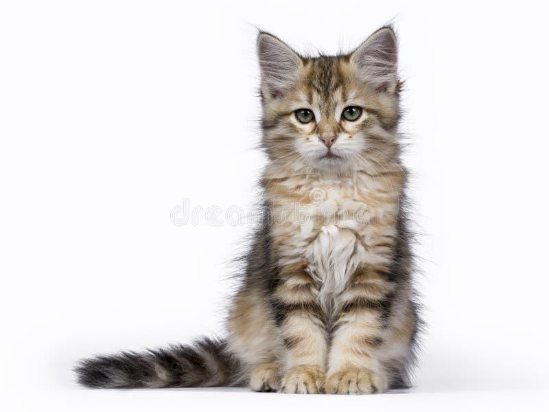 在白色背景隔绝的平纹西伯利亚森林猫/小猫开会 库存图片