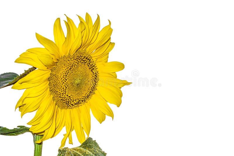 在白色背景隔绝的开花的向日葵 库存照片