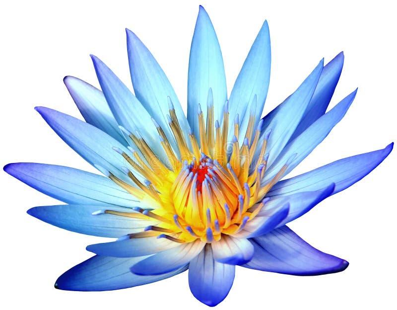 在白色背景隔绝的开花的蓝色荷花花 图库摄影