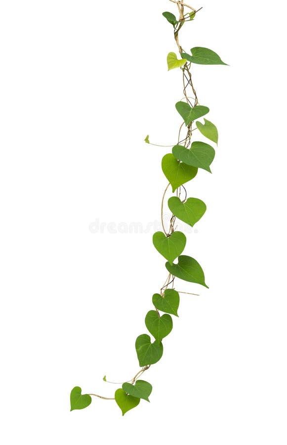 在白色背景隔绝的心形的绿色叶子藤,夹子 图库摄影