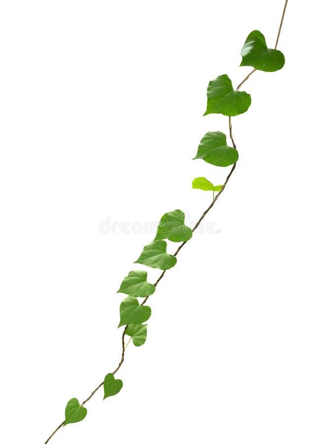在白色背景隔绝的心形的绿色叶子藤,夹子 免版税图库摄影