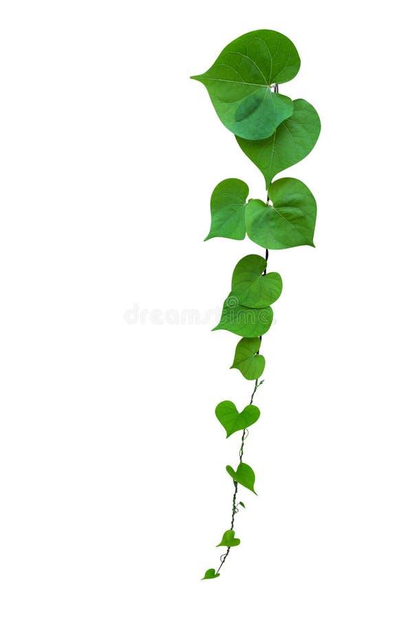 在白色背景隔绝的心形的绿色叶子藤,道路 库存照片