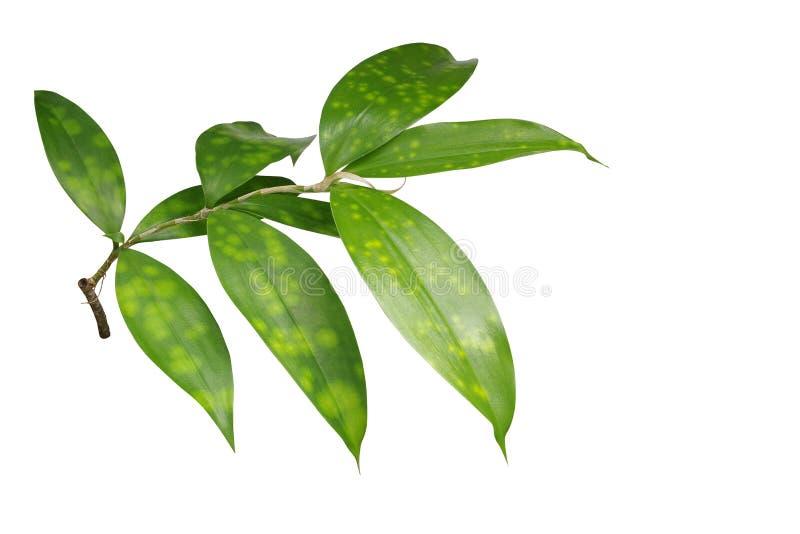 在白色背景隔绝的日本竹植物叶子, clipp 免版税库存照片