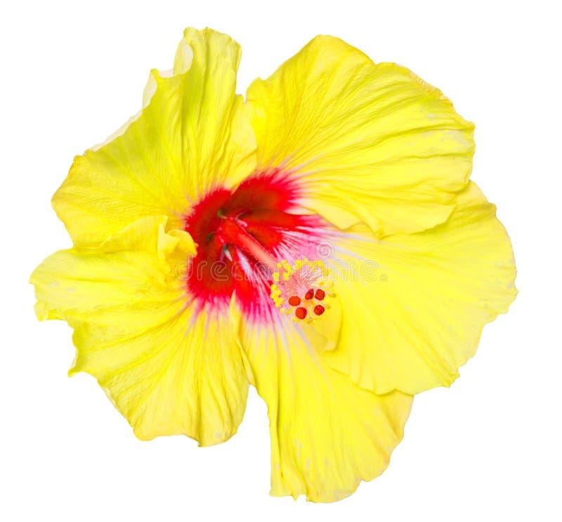 在白色背景隔绝的木槿黄色花 库存照片