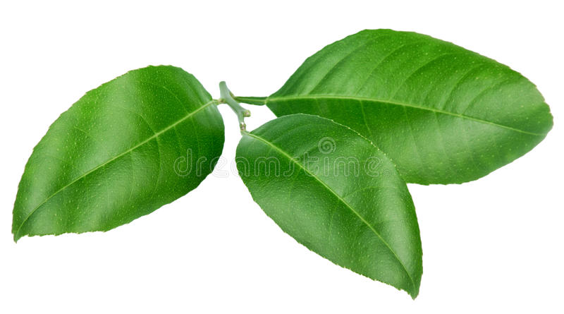 在白色背景隔绝的柠檬叶子 库存图片