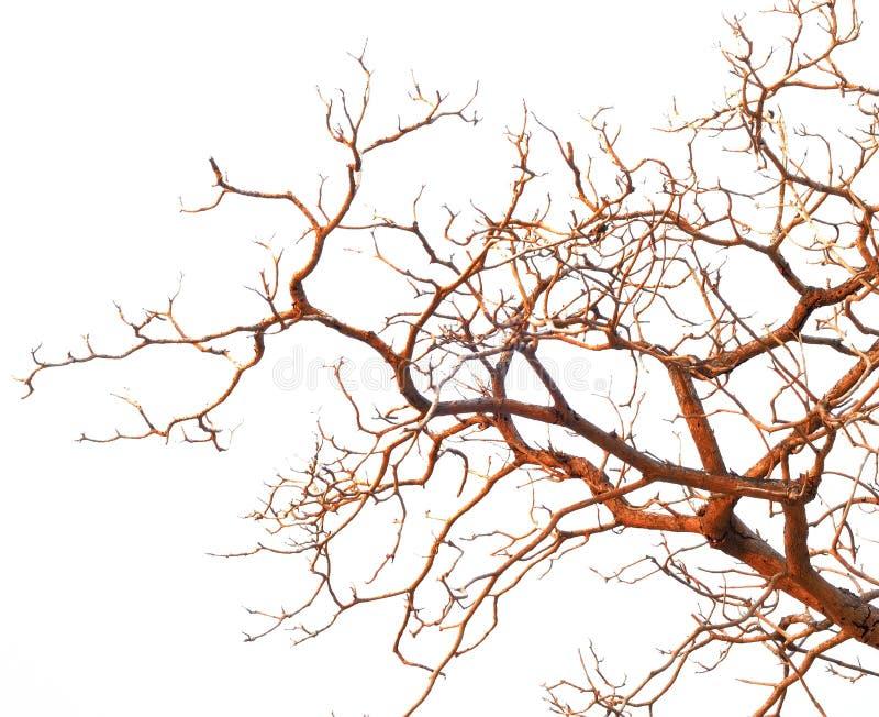 在白色背景隔绝的树的光秃的分支 免版税库存照片