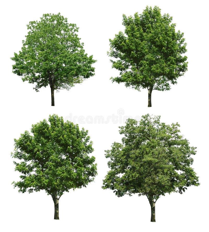 在白色背景隔绝的树 库存图片