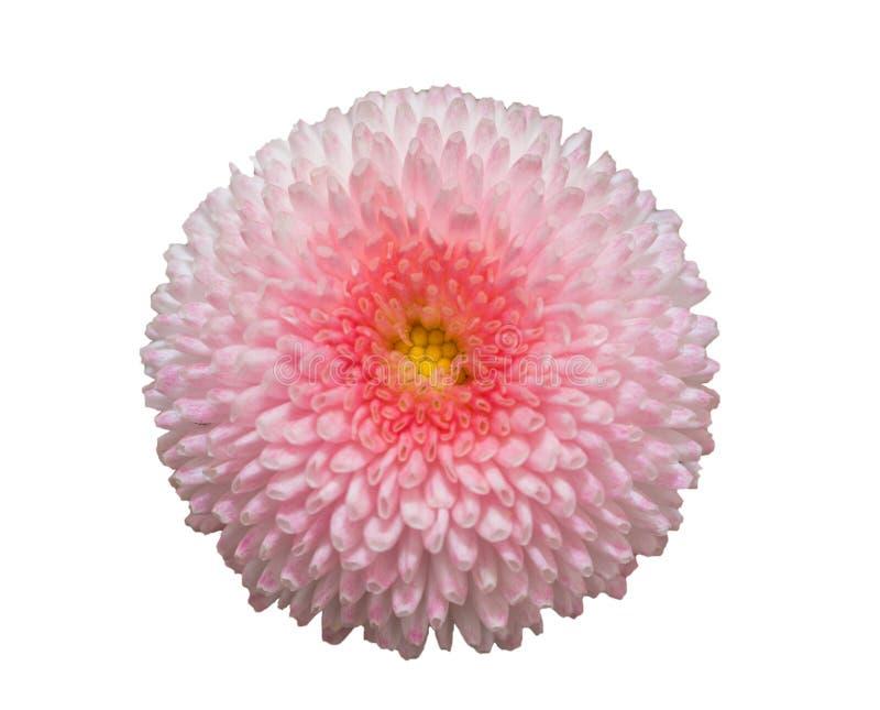 在白色背景隔绝的桃红色延命菊雏菊花 库存图片