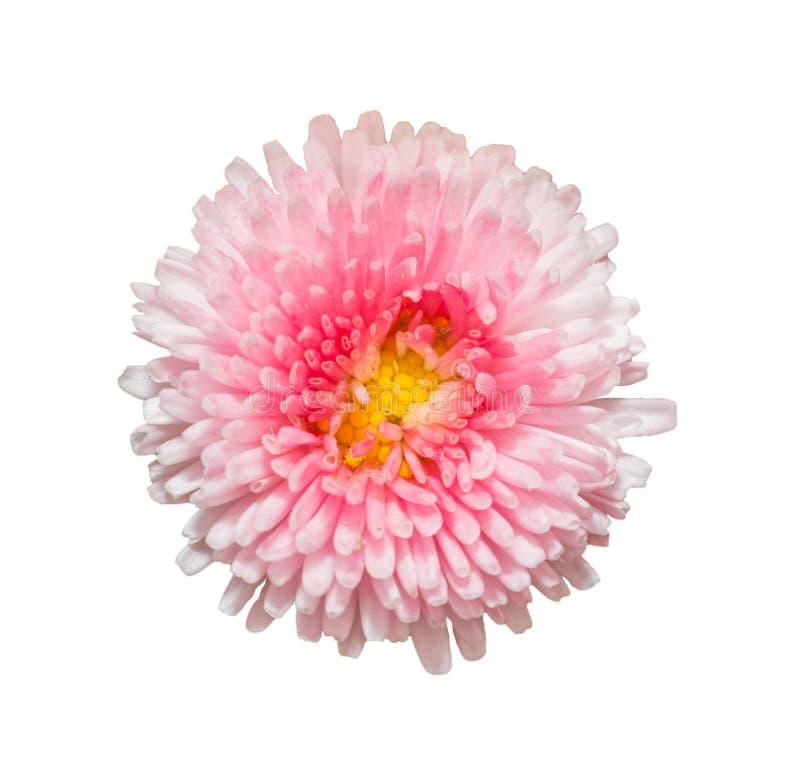 在白色背景隔绝的桃红色延命菊雏菊花 图库摄影