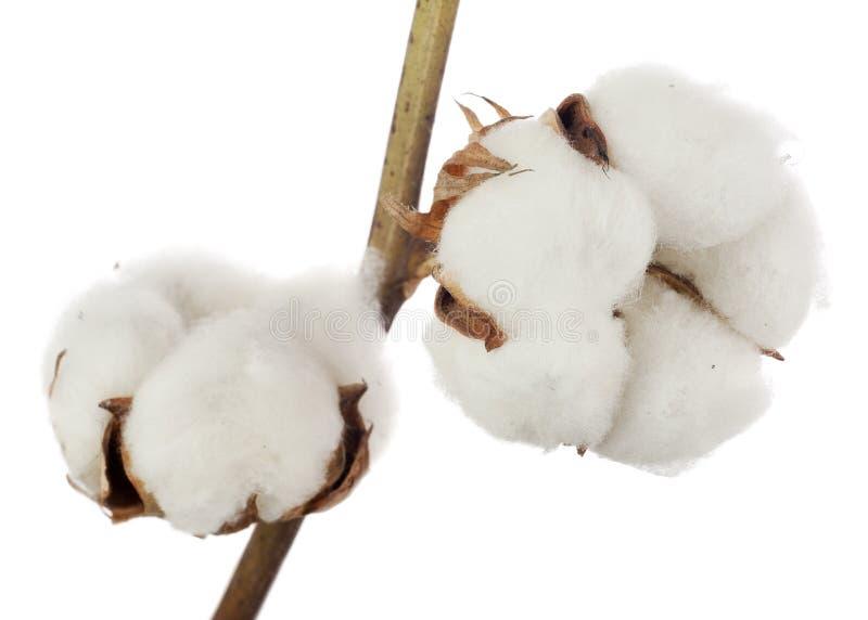 在白色背景隔绝的棉树花 库存图片
