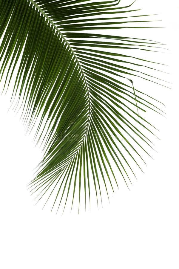 在白色背景隔绝的椰子树叶子 免版税库存照片