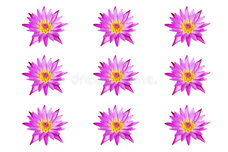 在白色背景隔绝的汇集桃红色莲花荷花开花 图库摄影