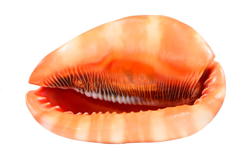 在白色背景隔绝的海壳 免版税库存照片