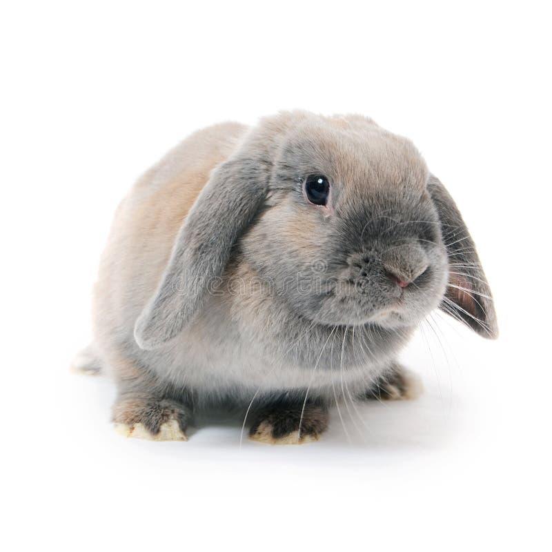 在白色背景隔绝的灰色兔子 免版税图库摄影