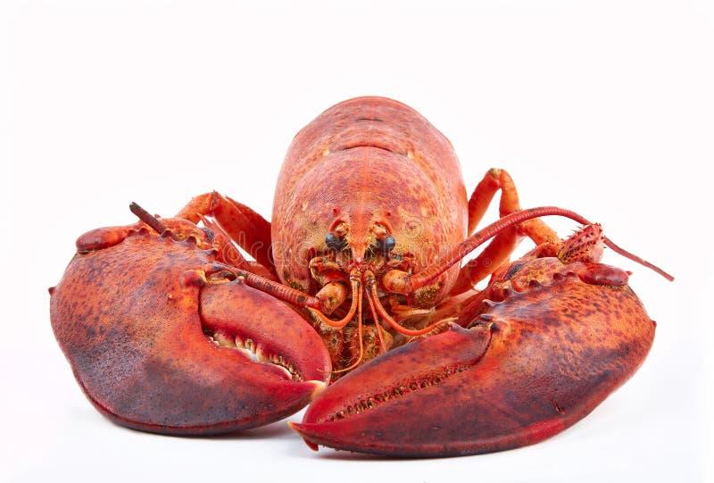 在白色背景隔绝的煮熟的龙虾,螯龙虾gammarus 图库摄影