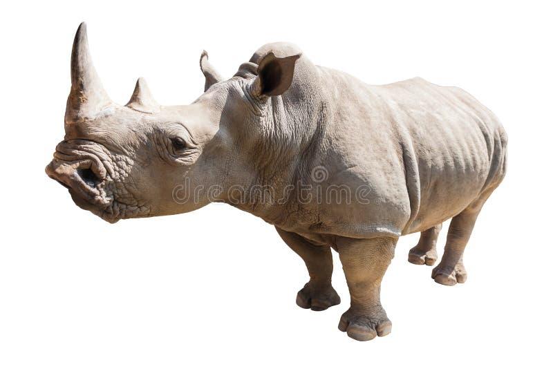 在白色背景隔绝的犀牛 免版税库存图片