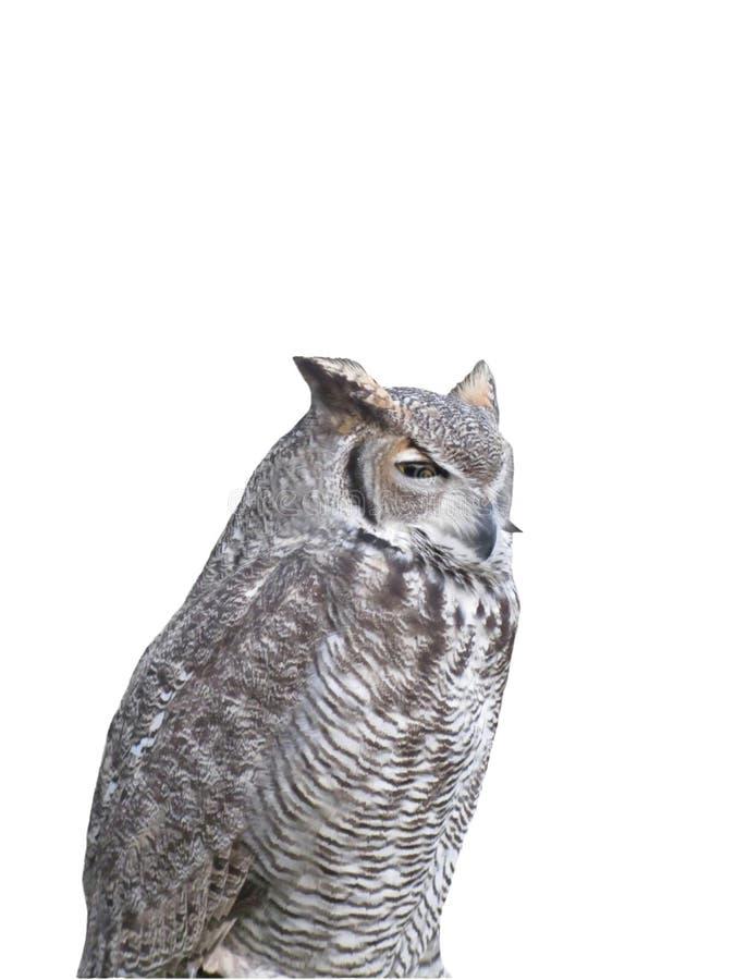 在白色背景隔绝的猫头鹰画象 库存图片