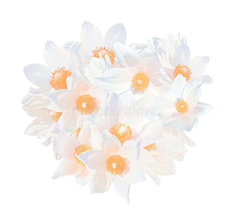 在白色背景隔绝的白色snowdrops白头翁属patens 春天花在西西伯利亚增长 红色名单种类 免版税图库摄影