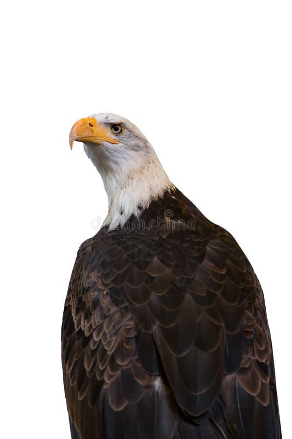 在白色背景隔绝的白头鹰 包括的裁减路线 免版税库存照片
