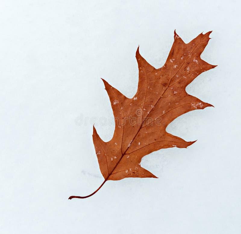 在白色背景隔绝的秋季橡木叶子 库存图片