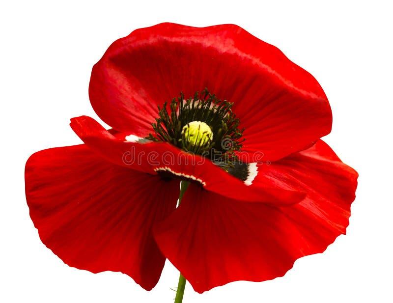 在白色背景隔绝的红色鸦片 红色鸦片 Beautif 免版税库存图片
