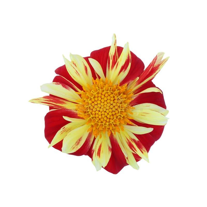 在白色背景隔绝的红黄色大丽花 库存照片