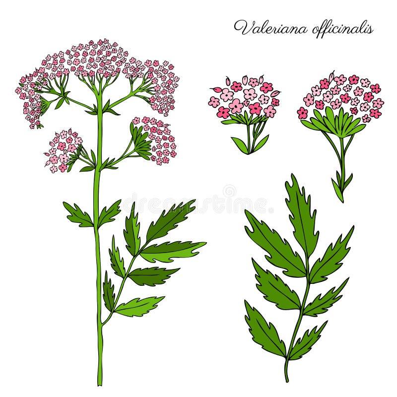 在白色背景隔绝的缬草属officinalis植物的手拉的颜色剪影,设计packag的乱画例证 皇族释放例证
