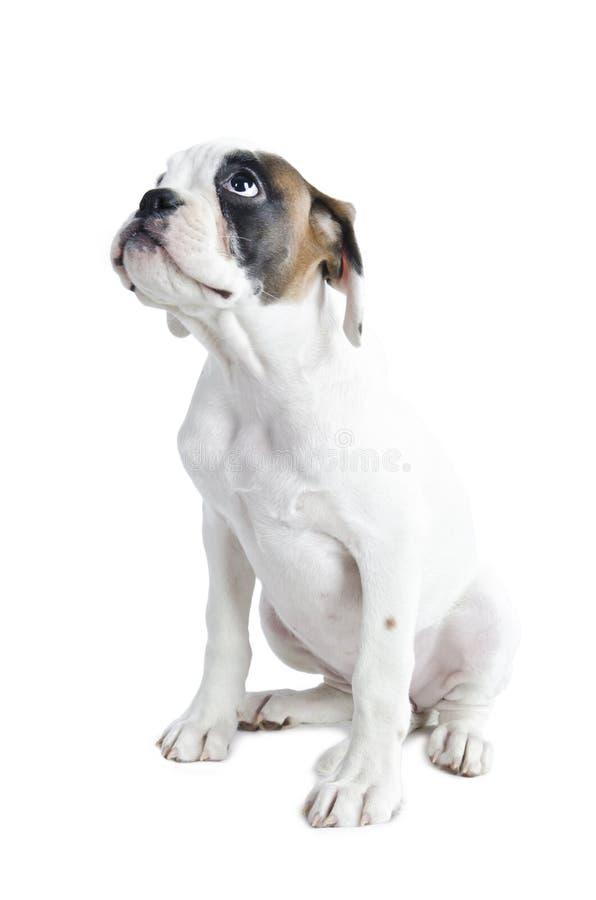 美丽的拳击手小狗 库存图片