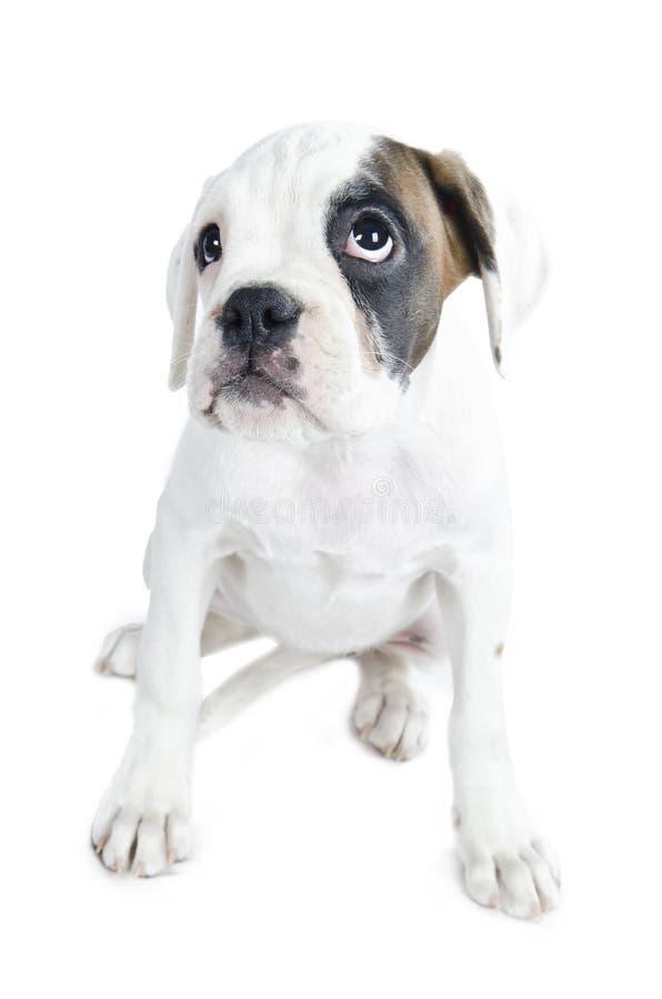 美丽的拳击手小狗 库存照片