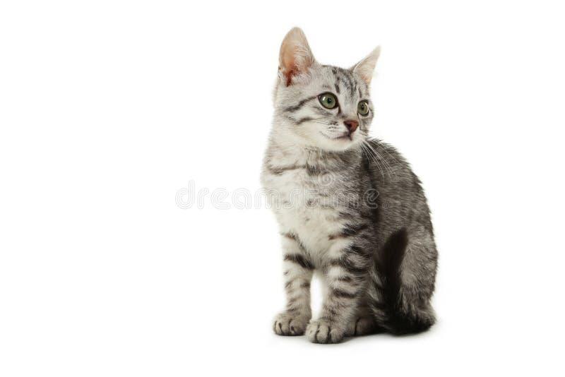 在白色背景隔绝的美丽的猫 免版税库存图片